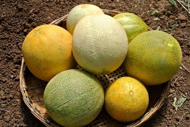 variétés melon